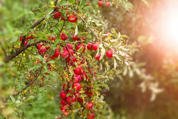 Сочные свежие ароматные красные яблоки на ветке яблони в крупном солнечном свете.