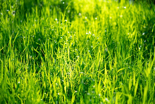 Juicy green grass, beautiful background soft focus