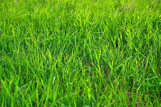 Juicy green grass close-up in the sun. selective focus.