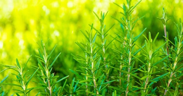 웹사이트를 위한 화창한 날 배너에 여름에 정원에서 자라는 즙이 많은 녹색 로즈마리