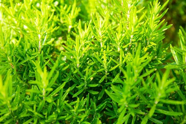 화창한 날 여름에 정원에서 자라는 즙이 많은 녹색 로즈마리