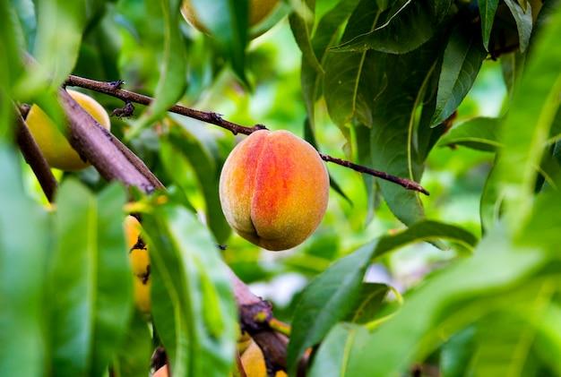 庭で育ったジューシーな桃