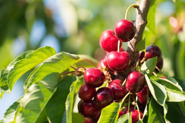 벚꽃 나무에 육즙이 빨간 체리. 확대