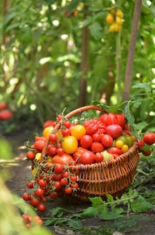 Juicy red tomatoes in basket lying in the summer grass