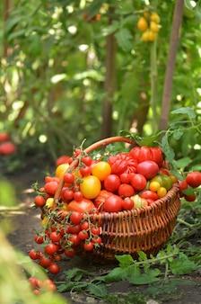夏の草に横たわっているバスケットのジューシーな赤いトマト