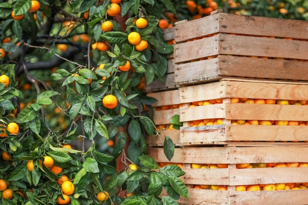 Juicy tangerines stacked in wooden boxes and ready to be sent to the buyer