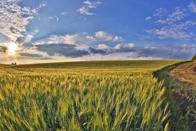 밝은 햇빛에 달콤한 밀밭