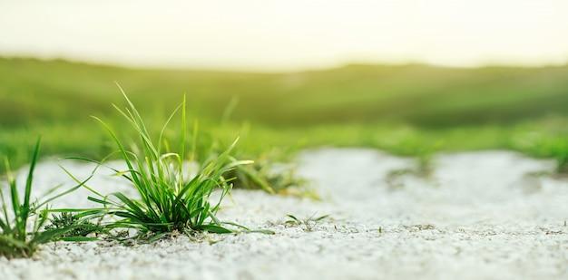 ぼやけている緑の牧草地と夕日の壁にチョークから発芽するジューシーな若い緑の芝生。夏や春の牧草地の美しく芸術的なイメージ、自然の新鮮さ。バナー形式のウィット
