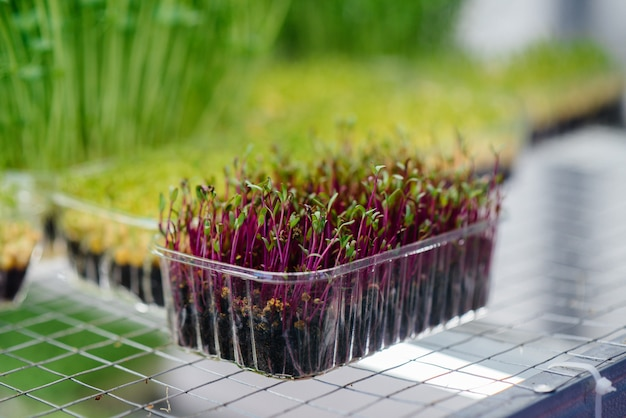 Juicy and young sprouts of micro greens in the greenhouse.