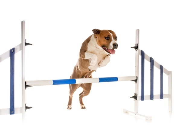 Jumping american staffordshire terrier in front of white space