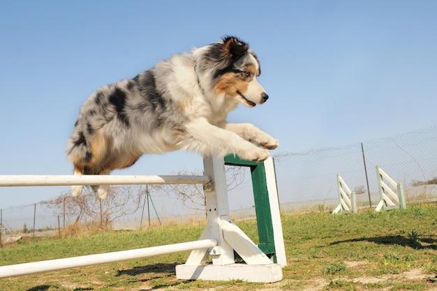Jumping australian shepherd