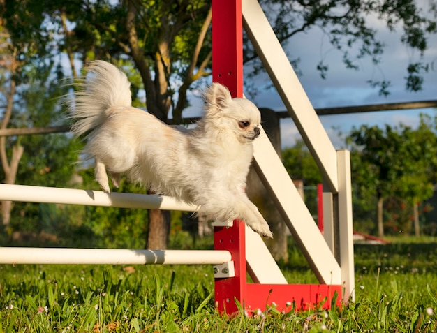 Jumping chihuahua in agility