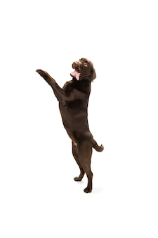 Jumping high. the brown, chocolate labrador retriever playing on white studio.