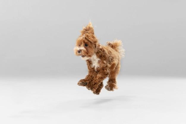 높이 점프. 말티푸 작은 강아지가 포즈를 취하고 있습니다. 흰색 스튜디오 배경에서 놀고 있는 귀여운 장난기 넘치는 브라운 강아지나 애완동물. 움직임, 행동, 움직임, 애완동물 사랑의 개념. 행복하고, 기쁘고, 재미있어 보입니다.