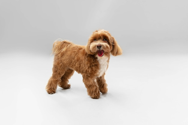 高くジャンプします。マルプーの小さな犬がポーズをとっています。白いスタジオの背景で遊ぶかわいい遊び心のあるブラウン犬やペット。動き、行動、動き、ペットの愛の概念。幸せ、喜び、おかしいように見えます。