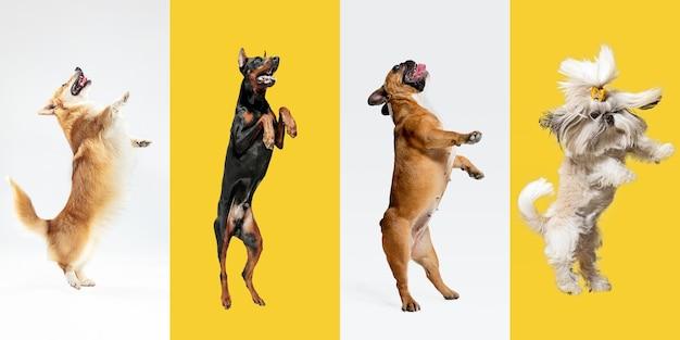 高くジャンプします。スタイリッシュな愛らしい犬のポーズ。かわいいわんわんやペットが幸せです。さまざまな純血種の子犬。色とりどりのスタジオの背景に分離された創造的なコラージュ。正面図。異なる品種。