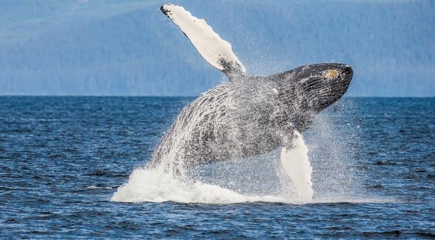 Jumping humpback whale. chatham strait area. alaska. usa.