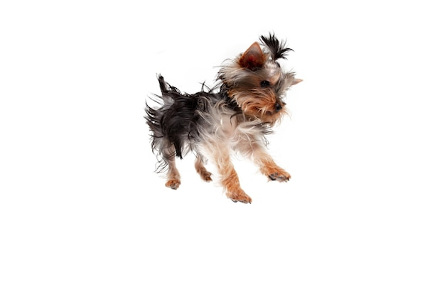 ジャンピング。リトルヨークシャーテリア犬が遊んでいます。白いスタジオの背景に分離されたかわいい遊び心のある犬やペット。動き、動き、ペットの愛の概念。幸せ、喜び、おかしいように見えます。広告のコピースペース