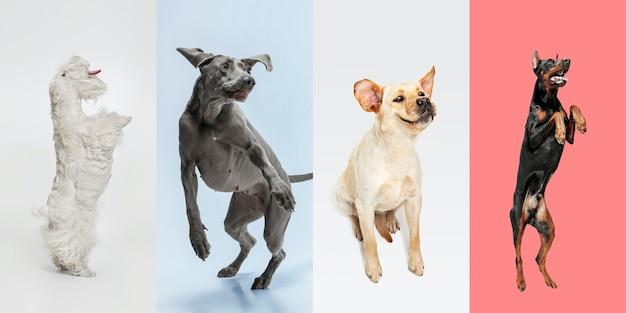 ジャンプ、モーション。スタイリッシュな愛らしい犬のポーズ。かわいいわんわんやペットが幸せです。さまざまな純血種の子犬。色とりどりのスタジオの背景に分離された創造的なコラージュ。正面図。異なる品種。