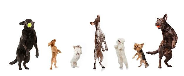 ジャンプ、遊ぶ。白いスタジオの背景に孤立してポーズをとる7匹のかわいい犬。犬やペットのさまざまな品種の創造的なコラージュ。モダンなデザイン。広告のチラシ、コピースペース。