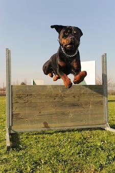 Прыгучий ротвейлер