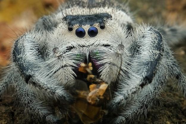 Прыгающий паук ест свою добычу