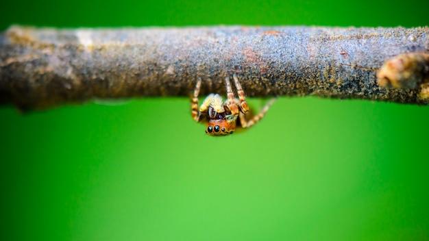 ハエトリグモの前、大きな枝の下に隠れている小さなクモ