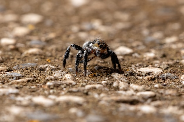 Jumping spider of the genus genus corythalia on a concrete surface species specialized in predating ants