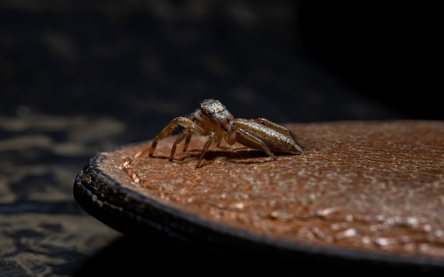 Jumping spider of the genus psecas