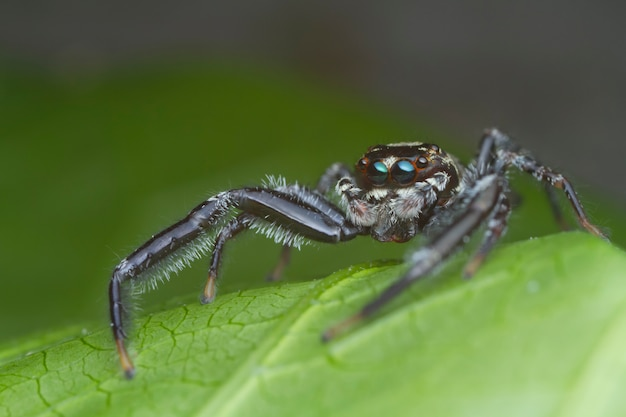 Jumping spider on green leaf in nature