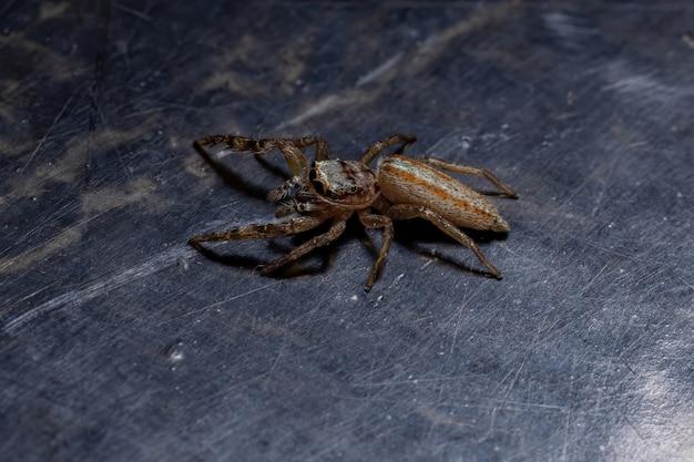 Прыгающий паук из рода psecas