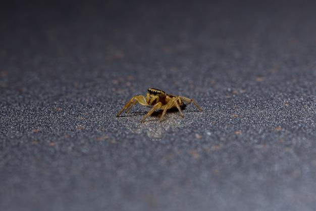亜族dendryphantinaのハエトリグモ