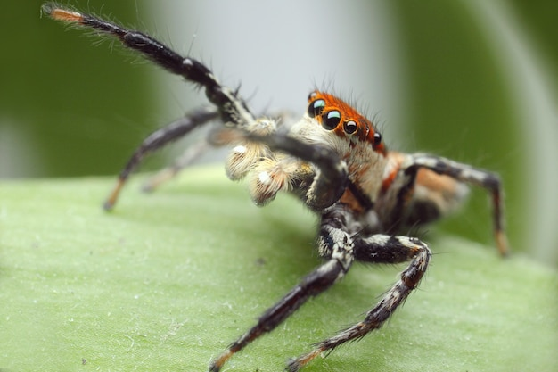 Прыгающий паук на зеленом листе