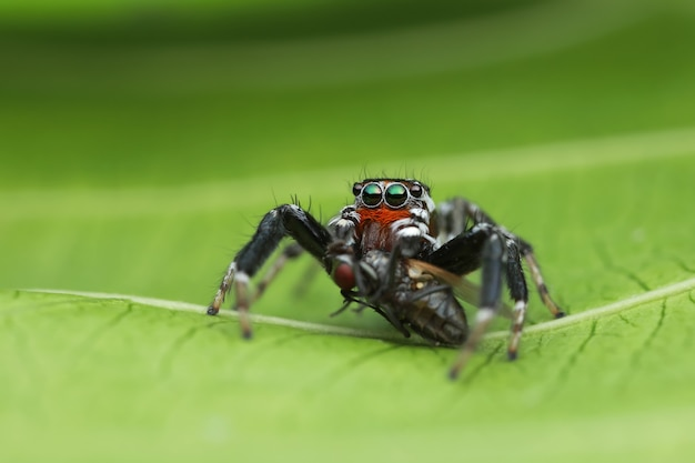 Jumping spider and prey on green leaf in nature