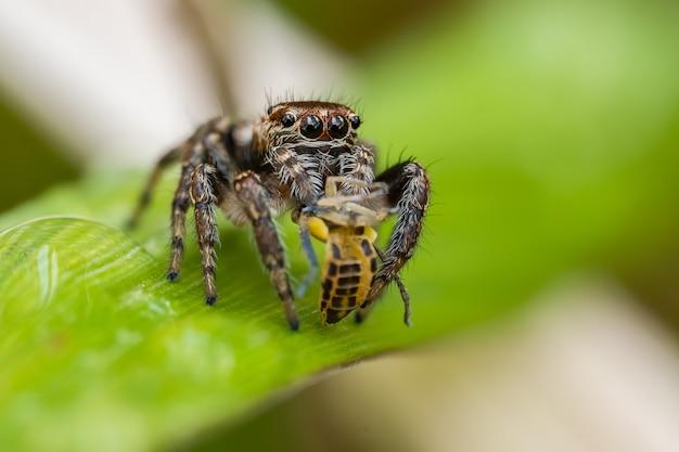 풀 잎에 앉아 거미 (salticidae) 점프