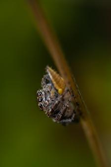 풀 잎에 앉아 거미 (salticidae) 점프.
