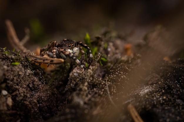 나무 줄기에 앉아 거미 (salticidae) 점프
