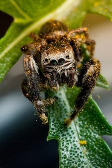 노란 꽃가루에 거미 스틱을 점프하고 녹색 잎 위를 걷는다
