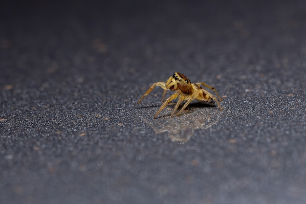 Jumping spider of the subtribe dendryphantina