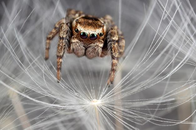 Jumping spider walking on the white dandelion fluff.