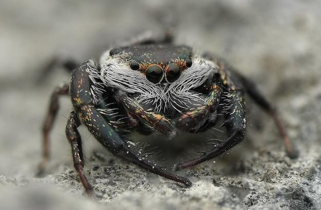 점프 거미 흰 콧수염