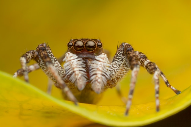 Jumping spider on yellow leaf