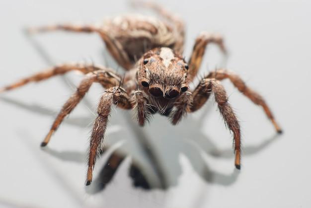 점프 거미