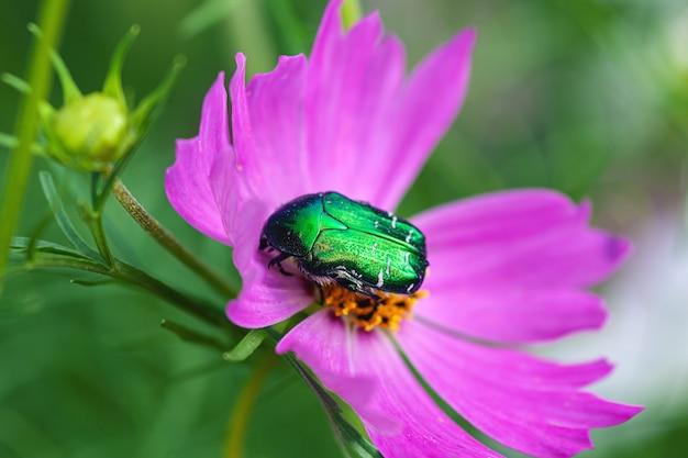 June bug (cotinis nitida ) on pink cosmos flower