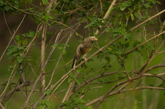 自然の中の枝にジャングルバブラー鳥