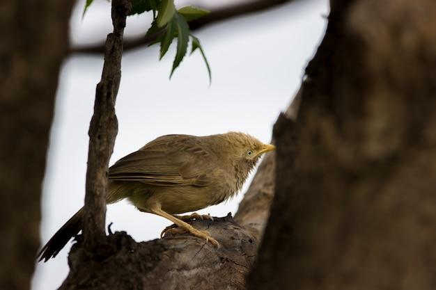 枝にジャングルバブラー鳥