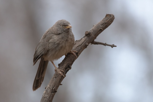 Jungle babbler bird perched on a tree branch