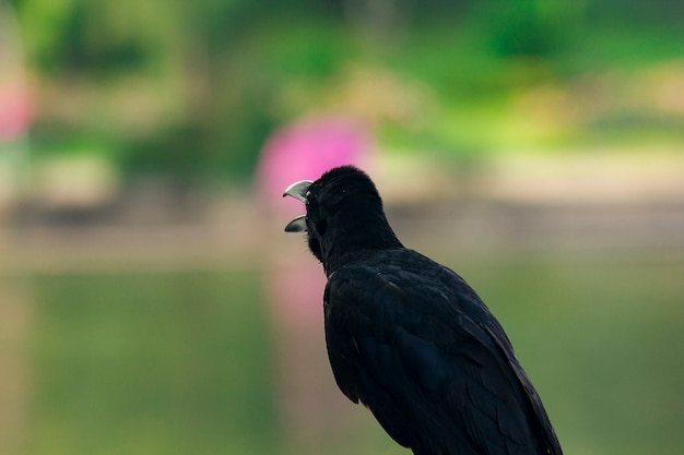The jungle crow is a widely distributed bird in asia.