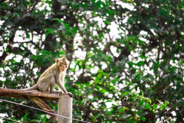 Jungle monkeys are climbing electric poles to look for lace and fruit falling on floor