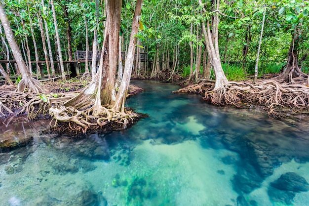 Jungle river in thapom mangrove forest